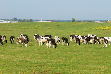 A herd of young cows and heifers grazing in a lush green pasture of grass on a beautiful sunny day. Black and white cows in a grassy field on a bright and sunny day