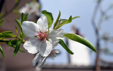Flowering almond trees.Almond flower on the branch after the rain. İcmeler. Turkey