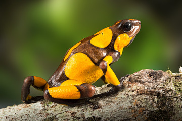 dartfrog or harlequin poison dart frog, Oophaga histrionica, a poisonous animal from the rain forest in Colombia. Jungle amphibian with bright yellow warning colors