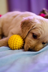Filhote de golden retriever / Golden Puppy
