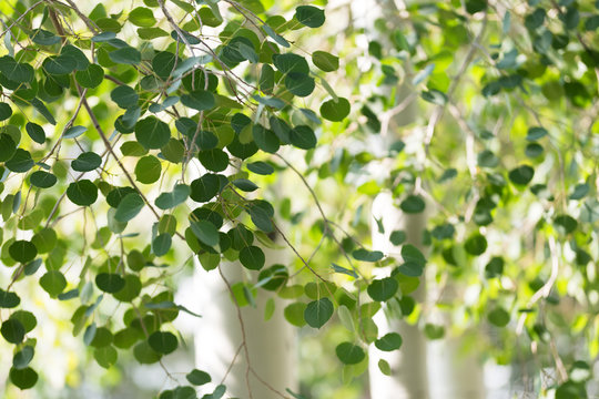 Green foliage and white trunks of quaking aspen trees