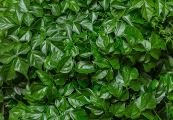 Green natural background from fresh leaves of the plant Rodermahera.