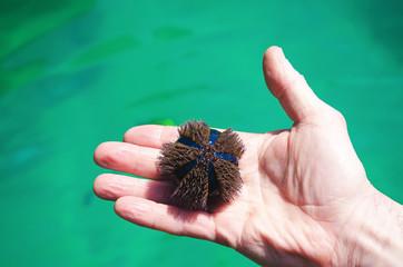 stella marina tonda blu