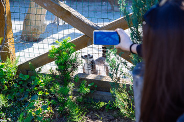 woman taking picture of lemur in zoo on phone