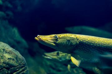 Pike fish close-up portrait photo, dark background