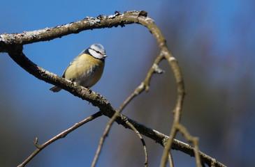 Blue tit sits on a tree branch in a park in Minsk
