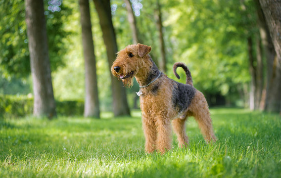 Airedale Terrier stands in a rack on the grass in the alley of trees