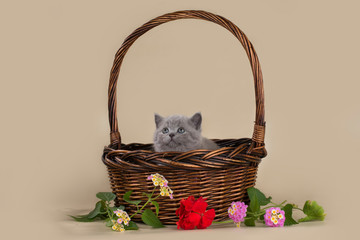 british kitten in a basket