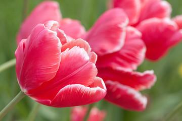 beautiful red-white tulips