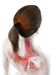 3d rendered illustration of a females back muscles