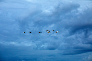 Swans flying on overcast day