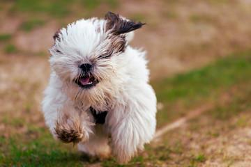 Pequeno Shi Tzu a correr alegremente no parque