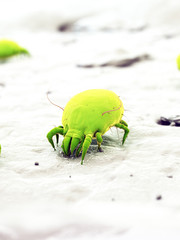 3d rendered illustration of a house dust mite
