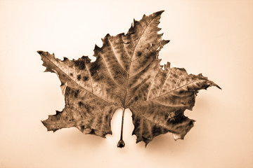 golden art pic from a dry maple leaf
