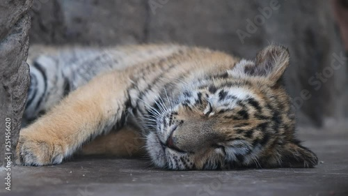 Sleepy Tiger Baby Lying On Ground Tired Expression Beautiful And