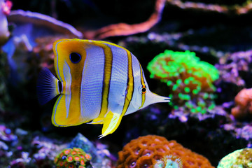 Copperband Butterflyfish - (Chelmon rostratus)