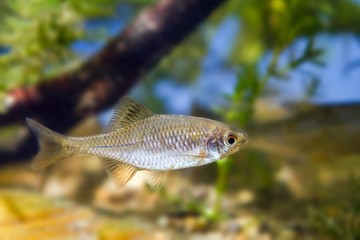 European bitterling, Rhodeus amarus, small wild freshwater adult male fish in typical moderate river biotope aquarium