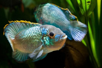 Nannacara anomala neon blue, freshwater cichlid dominant male fish in spectacular spawning colors courtships a female, natural aquarium, closeup nature photo