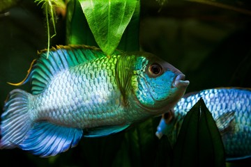 Nannacara anomala neon blue, freshwater cichlid dominant male fish in spawning color courtship a female, natural aquarium, closeup nature photo