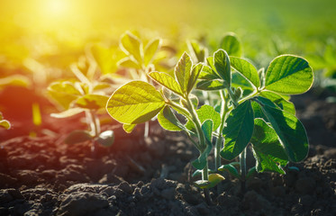 Fototapeta Concept of earth day. Glycine max, soybean, soya bean sprout growing soybeans on an industrial scale. Products for vegetarians. Agricultural soy plantation on sunny day. obraz
