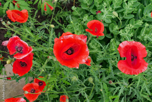 Poppy Flowers Growing In Guelph Ontario Near The Home Of The
