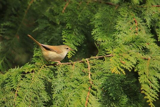 ウグイス Japanese bush warbler