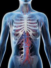 3d rendered illustration of a females vascular system of the upper body