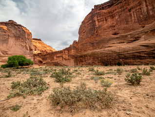 Cholla Cactus form an intimidating, difficult to traverse landscape in the bottom of Canyon de Chelly National Monument