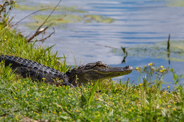 alligator in nature