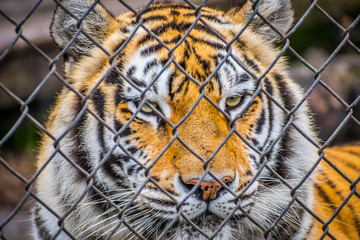 A black transverse stripes Siberian Tiger in Jacksonville, Florida