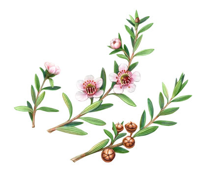 Manuka Plant Flowers, Branches and Fruit Pencil Drawing Isolated on White