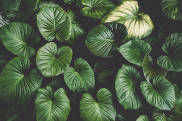 Close up tropical nature green leaf caladium texture background. Wall mural