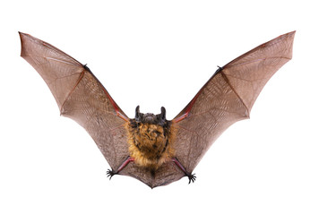 A close up of the little brown bat. Isolated on white. Wall mural