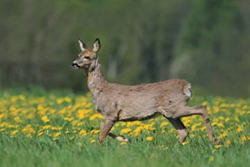 roe grazing on the blooming meadow. Roe in the spring landscape. Roe deer, Capreolus capreolus, chewing green leaves, beautiful blooming meadow with many yellow flowers and animal.