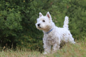 Westie. West Highland White terrier standing in the grass. Portrait of a white dog