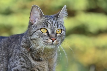 Close up tiger cat (tabby) with green background, Portrait of tabby cat. felis silvestris