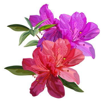 Azalea flower vector illustration