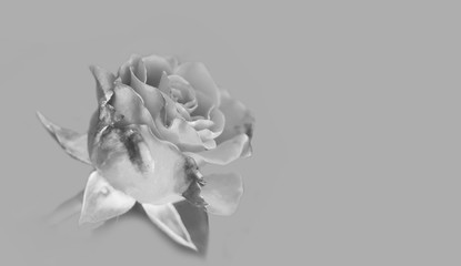 Art photo rose petals isolated on the Gray background. Closeup.