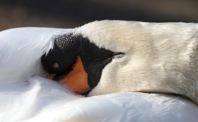 Photo sur Toile Cygne Mute swan sleeping
