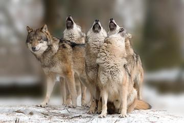 Photo sur Toile Loup Wölfe heulen
