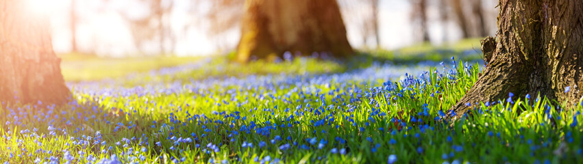 Scilla flowers in the park
