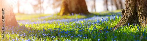 Wall mural Scilla flowers in the park