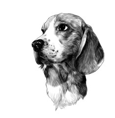 dog breed Beagle head, sketch vector graphics monochrome illustration on white background