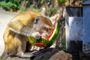 Monkey sits on a stone and eats a watermelon against the backdrop of a tropical forest on a sunny day. Close-up. Copy space