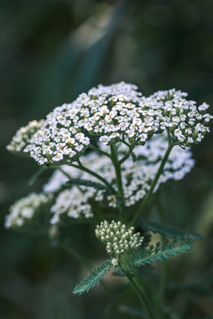Common yarrow Achillea millefolium white flowers close up top view as floral background against green blurred grass.