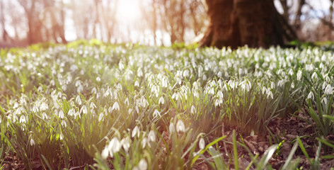 Snowdrops in forest Spring background