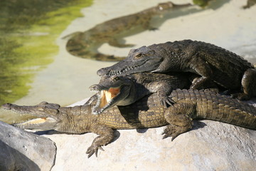 Group of Nile crocodile babies, Crocodylus niloticus, resting under the sun.