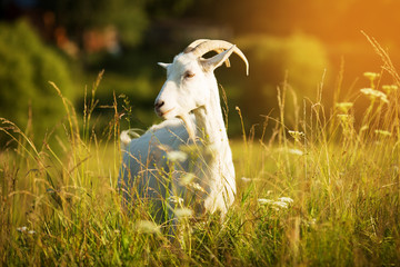 White goat with horns grazing in a meadow