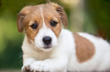 Beautiful cute jack russell pet dog puppy looking to the camera