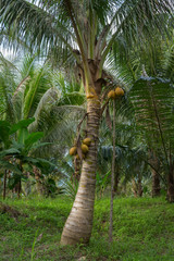 coconut on a tree